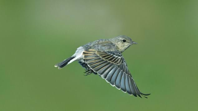 Wheatear in flight