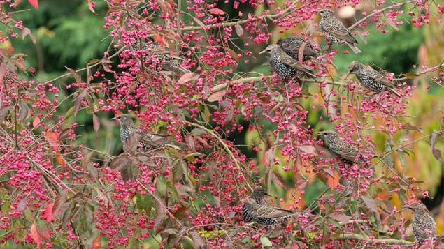 Spindle berries with starling flock feeding