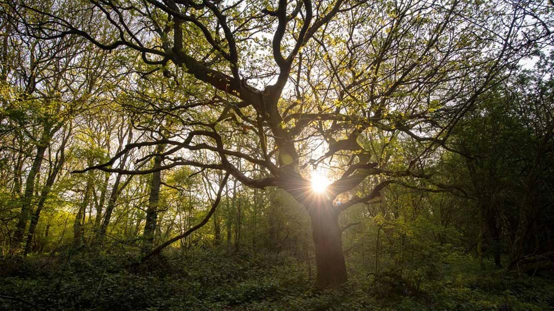 In woodland, the long gnarly branches of an oak tree are backlit by the rising sun at dawn.