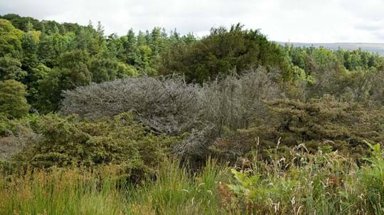 Dead juniper tree infected by Phytopthora austrocedri