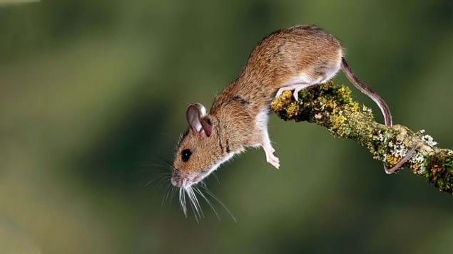 Yellow-necked mouse looking alert jumping down from branch