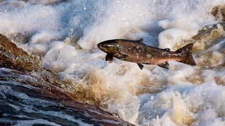 Altantic salmon leaping upstream over a small waterfall
